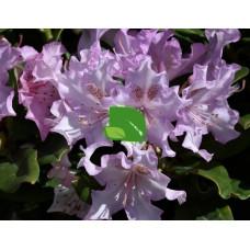 Азалия/Рододендрон гибридный Похйолас Дотер С15, весна 2021