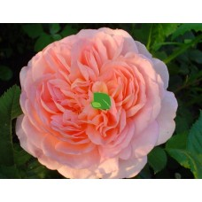 Роза шраб Абрахам Дерби С7,5
