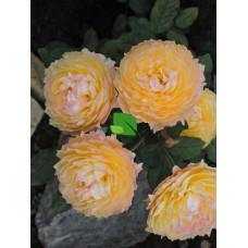 Роза шраб Велл Биинг С7,5