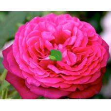 Роза чайно-гибридная Иоганн Вольфганг фон Гете С7,5