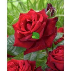 Роза чайно-гибридная Ингрид Бергман С7,5