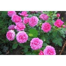 Роза флорибунда Клэар Маршалл С7,5