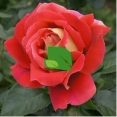 Роза чайно-гибридная Кроненбург С7,5