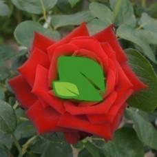 Роза чайно-гибридная Прайд оф Инглэнд С7,5