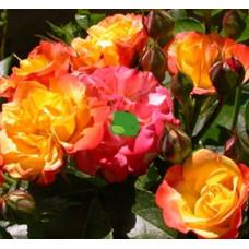 Роза флорибунда Румба С7,5