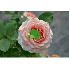 Роза чайно-гибридная Таити С7,5