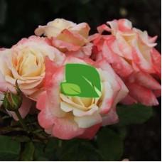 Роза чайно-гибридная Фиджи С7,5