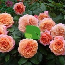 Роза шраб Чип енд Дейл С7,5
