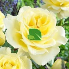 Роза чайно-гибридная Элина С4