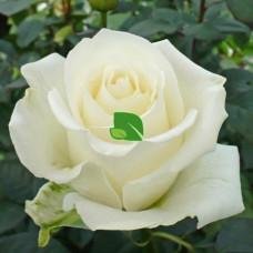 Роза чайно-гибридная Тинеке С4