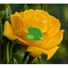 Роза чайно-гибридная Желтый Остров С3