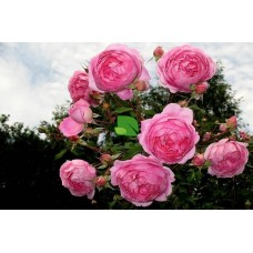 Роза английская Алан Титчмарш С4