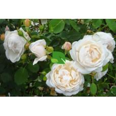 Роза английская Глэмис Кэсл С4