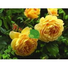 Роза английская Голден Селебрейшн С4