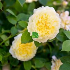 Роза английская Пилигрим С4