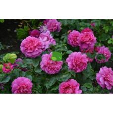Роза английская Принцесс Энн С4