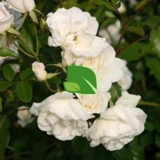 Роза плетистая Айсберг С4