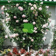 Роза плетистая Амаретто С4