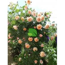 Роза плетистая Барок С4