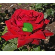 Роза чайно-гибридная Бургунд 81 С4