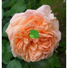 Роза чайно-гибридная Джейд С4