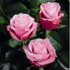Роза чайно-гибридная Дип Сикрет С4