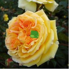 Роза чайно-гибридная Каппучино С4