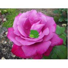 Роза чайно-гибридная Лила Вандер С5