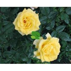 Роза чайно-гибридная Мабелла С4
