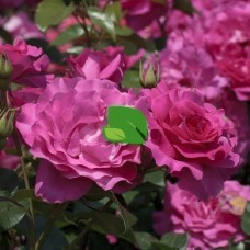 Роза чайно-гибридная Ману Мейян С4 квадрат