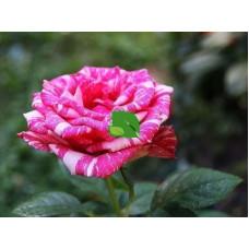 Роза чайно-гибридная Пинк Пинкушн С4