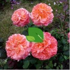 Роза чайно-гибридная Рене Госинни С4
