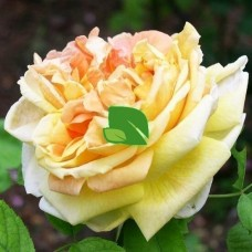 Роза чайно-гибридная Солей д'Ор С4