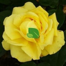 Роза чайно-гибридная Старлайт С4