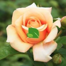 Роза чайно-гибридная Шантелла С4
