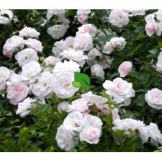 Роза флорибунда Аспирин С4