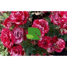 Роза флорибунда Дип Импрешн С4 весна 2019