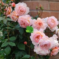 Роза флорибунда Папиллон С4