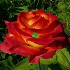 Роза флорибунда Циркус С4