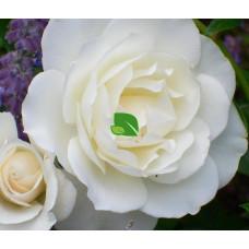 Роза флорибунда Шнеевитхен С4