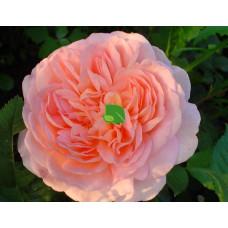 Роза шраб Абрахам Дерби С4
