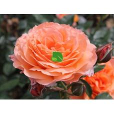 Роза шраб Бельведер С3