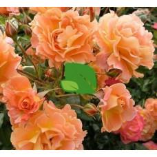 Роза шраб Вестерленд С4
