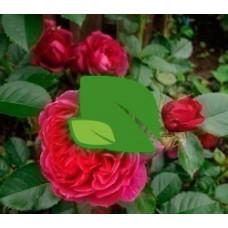 Роза шраб Соул С4