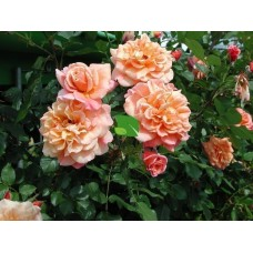Роза плетистая Алоха С4