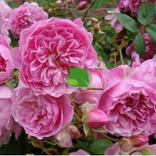 Роза английская Харлоу Карр, С4 весна 2021