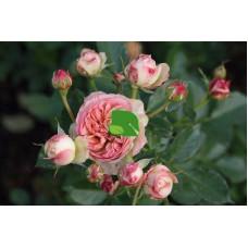 Роза флорибунда Пастелла, С4 весна 2021