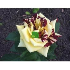 Роза чайно-гибридная Хокус Покус, С4